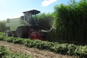 hemp-fibre-crop-harvest