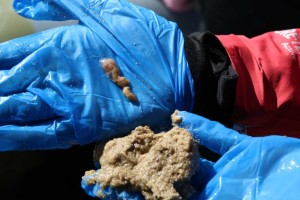Microbeads-peanut-worm-ingested-sand-contain-microplastics-Sydney-Harbour