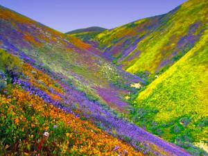 US-Death-Valley-flowers-rains