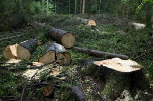 poland-logging-ancient-Bialowieza-Forest